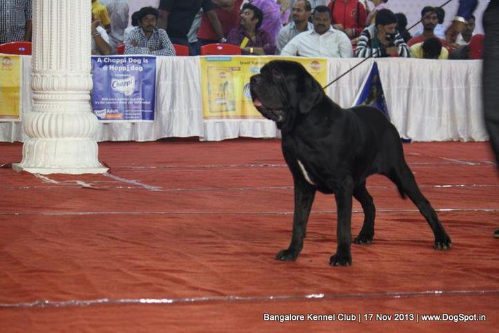 ex-320,neapolitan mastiff,sw-102,, EBONEY BLACK, Neapolitan Mastiff, DogSpot.in