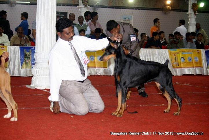 dobermann,ex-223,sw-102,, KIROS FABULOUS N JFOR ALWAYS, Doberman Pinscher, DogSpot.in