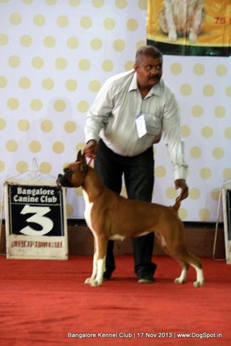 boxer,sw-102,, Bangalore Dog Show , DogSpot.in