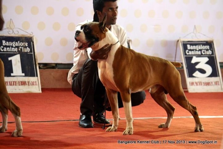 boxer,ex-199,sw-102,, BLACKMAIL, Boxer, DogSpot.in