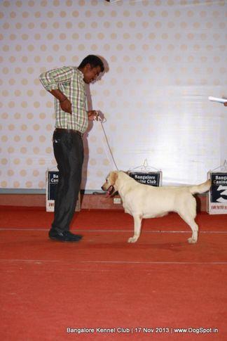 labrador retriever,sw-102,, Bangalore Dog Show , DogSpot.in