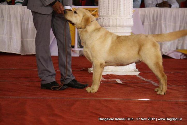 ex-118,labrador retriever,sw-102,, CHINAR'S CLOUD NUMBER NINE, Labrador Retriever, DogSpot.in