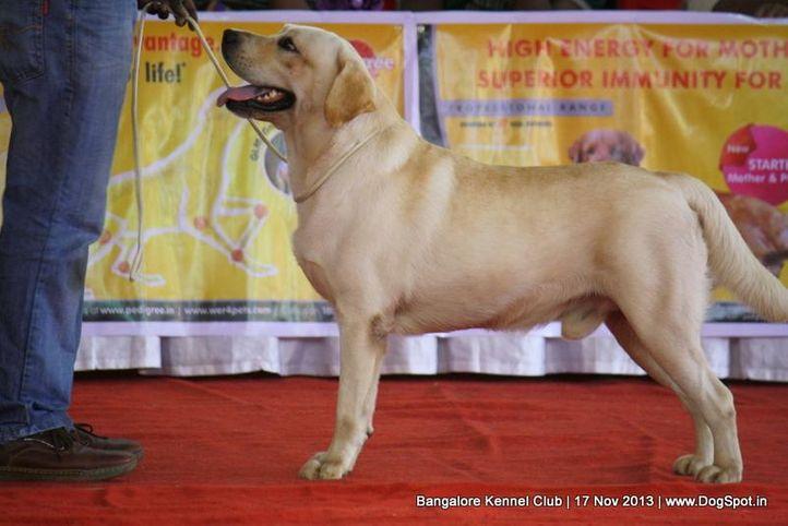 ex-124,labrador retriever,sw-102,, BRIDGEWAY'S DREAM BOY, Labrador Retriever, DogSpot.in