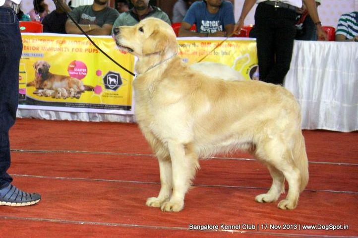 golden retriever,sw-102,, Bangalore Dog Show , DogSpot.in