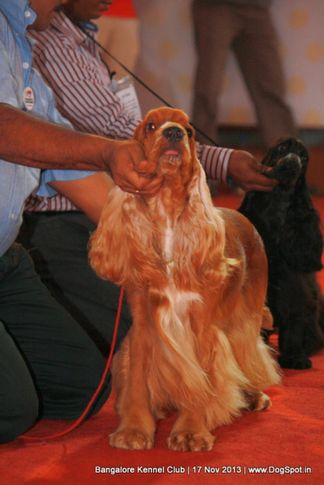 cocker spaniel,sw-102,, Bangalore Dog Show , DogSpot.in
