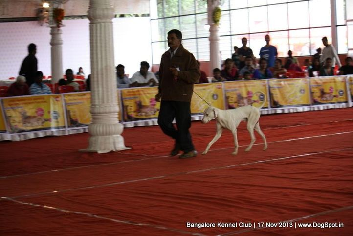 rampur hound,sw-102,, Bangalore Dog Show , DogSpot.in