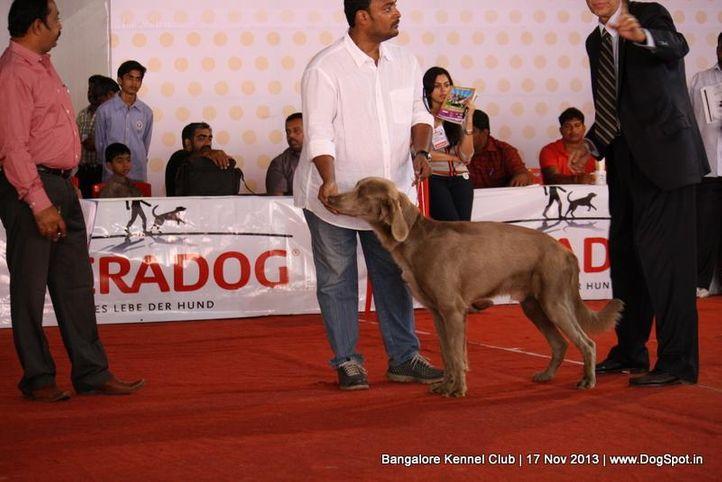 sw-102,weimaraner,, Bangalore Dog Show , DogSpot.in