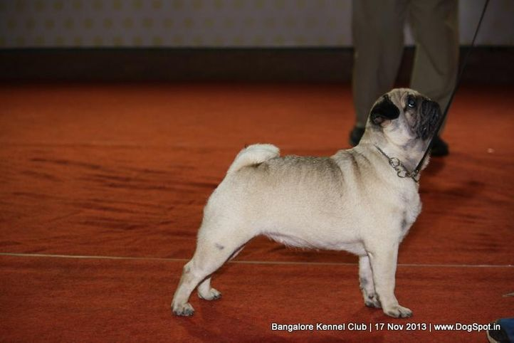 ex-19,pug,sw-102,, STAR GOOSEBERRYS LIVE IN FLORECCE, Pug, DogSpot.in