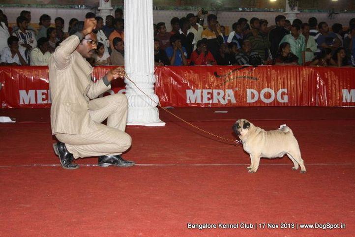 pug,sw-102,, Bangalore Dog Show , DogSpot.in
