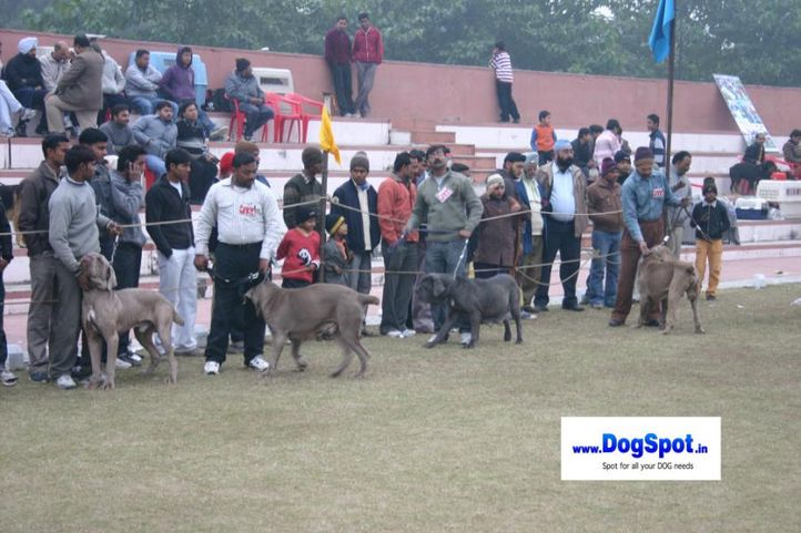 mastiff,Neomass,, Bareilly Dog Show 2010, DogSpot.in