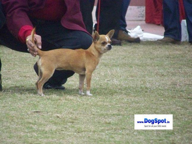 minpin,, Bareilly Dog Show 2010, DogSpot.in