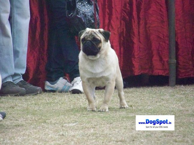 Pug,, Bareilly Dog Show 2010, DogSpot.in