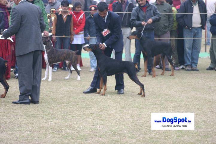 Doberman,, Bareilly Dog Show 2010, DogSpot.in
