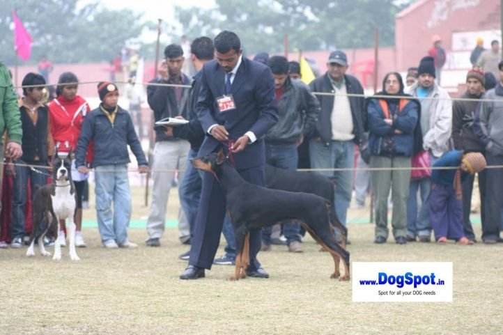 Doberman,, Bareilly Dog Show 2010, DogSpot.in