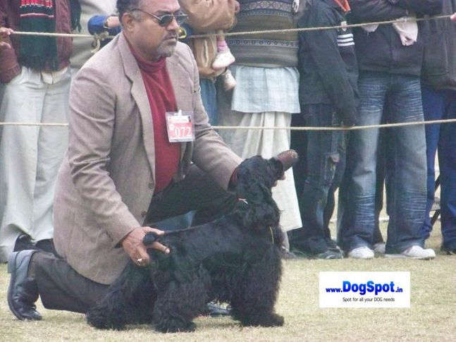 cocker,, Bareilly Dog Show 2010, DogSpot.in