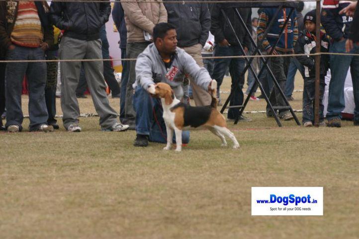 beagle,, Bareilly Dog Show 2010, DogSpot.in