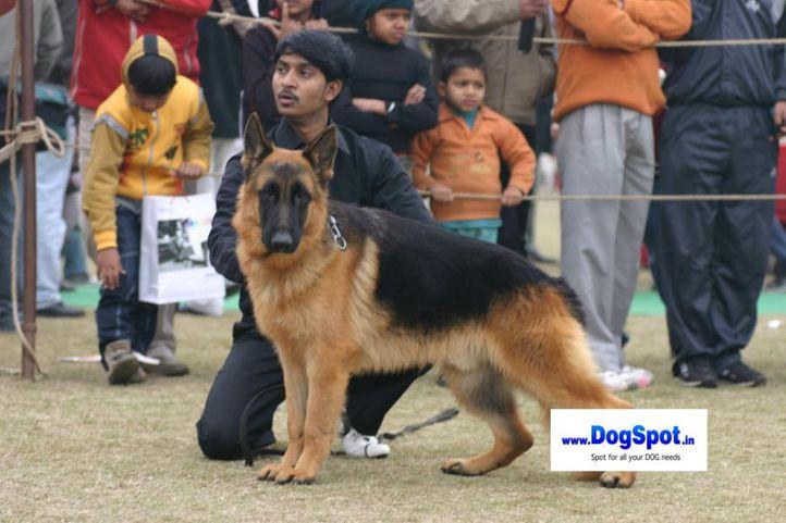 Alsatian,GSD,, Bareilly Dog Show 2010, DogSpot.in