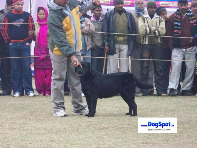 Labrador,, Bareilly Dog Show 2010, DogSpot.in