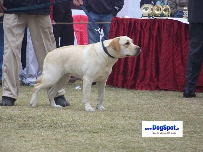 Labrador,, Bareilly Dog Show 2010, DogSpot.in