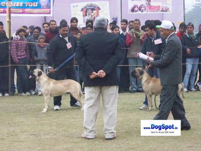 mastiff,, Bareilly Dog Show 2010, DogSpot.in