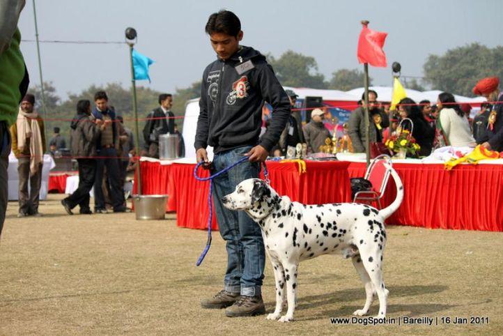 sw-14, dalmatian,ex-30,, DEXTER, Dalmatian, DogSpot.in