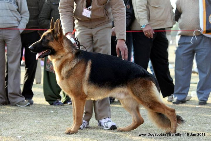 sw-14, ex-180,gsd,, PALLIBERG AEXX, German Shepherd Dog, DogSpot.in
