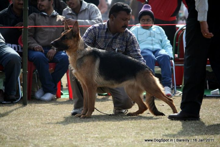 sw-14, ex-188,gsd,, LAMBA'S CHAMELI, German Shepherd Dog, DogSpot.in