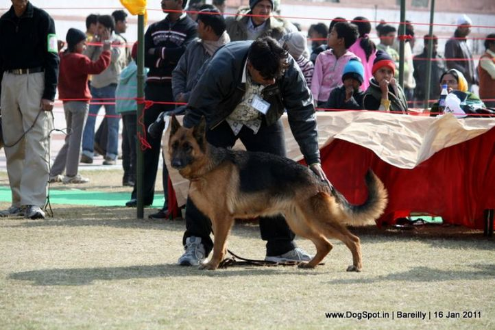 sw-14, ex-189,gsd,, ROHITASUE'S BHOLI, German Shepherd Dog, DogSpot.in