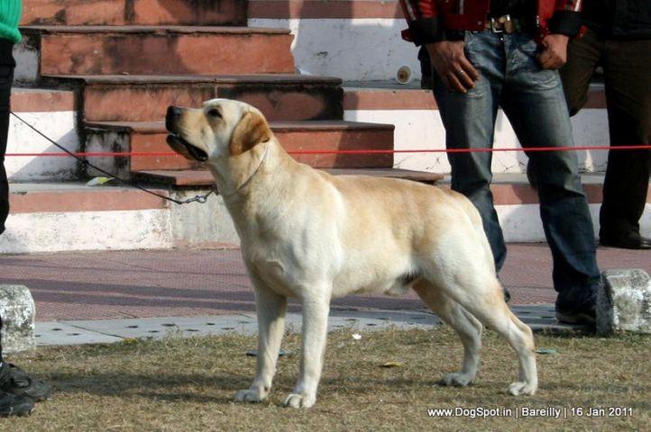 sw-14, ex-65,labrador,, KUZO, Labrador Retriever, DogSpot.in