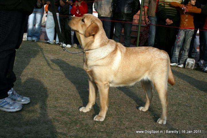 sw-14, ex-88,labrador,, ENAKSHI'S CELEBRITY, Labrador Retriever, DogSpot.in