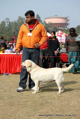 sw-14, ex-98,labrador,, LISA, Labrador Retriever, DogSpot.in