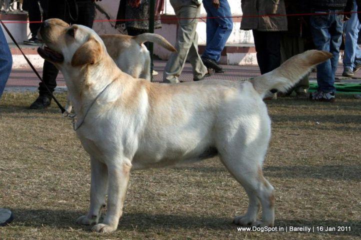 sw-14, ex-104,labrador,, SKYLARK OF LAYLAND, Labrador Retriever, DogSpot.in