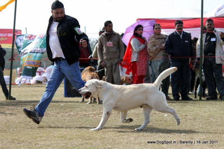 sw-14, ex-113,labrador,, KILSTRON CALL ME BOND FOR CHENMOS, Labrador Retriever, DogSpot.in