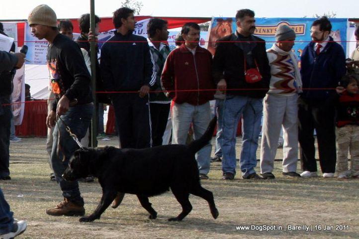 sw-14, ex-204,labrador,, Bareilly Dog Show 2011, DogSpot.in