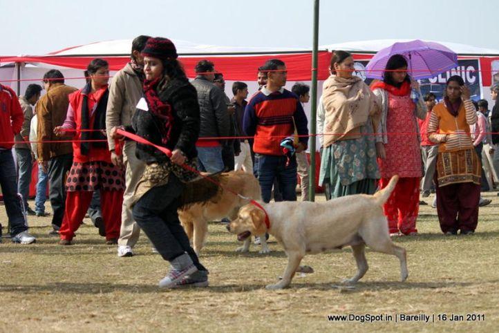 sw-14,labrador,, Bareilly Dog Show 2011, DogSpot.in