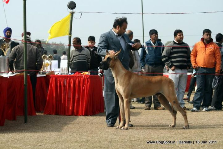 sw-14, ex-126,great dane,, raodanes spyker, Great Dane, DogSpot.in