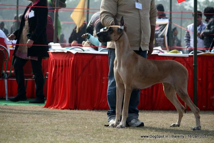 sw-14, ex-130,great dane,, PAQUINS FAR TOO COOL, Great Dane, DogSpot.in