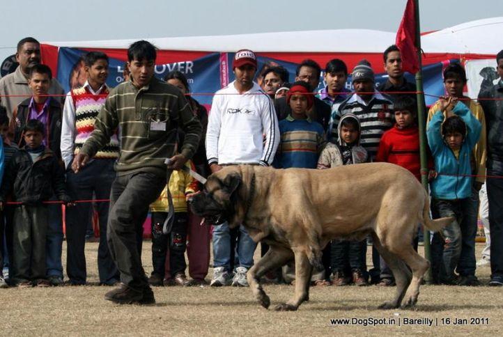 sw-14, ex-132,mastiff,, SANGWAN'S AFLATOON, Mastiff- English, DogSpot.in