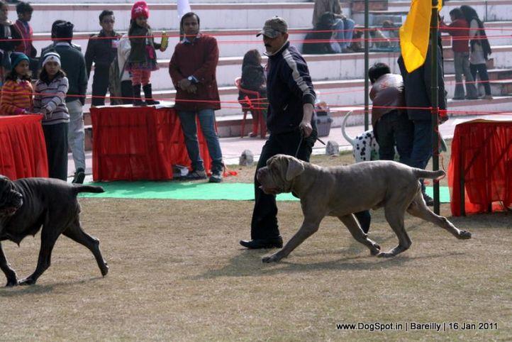 sw-14, ex-134,mastiff,, JON, Neapolitan Mastiff, DogSpot.in