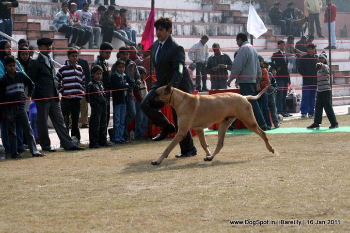 sw-14, ex-203,great dane,, Bareilly Dog Show 2011, DogSpot.in