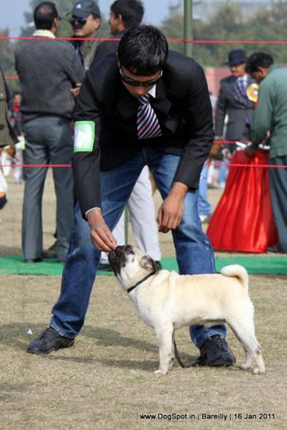 sw-14, ex-9,pug,, Ladoo Of Parnjal, Pug, DogSpot.in
