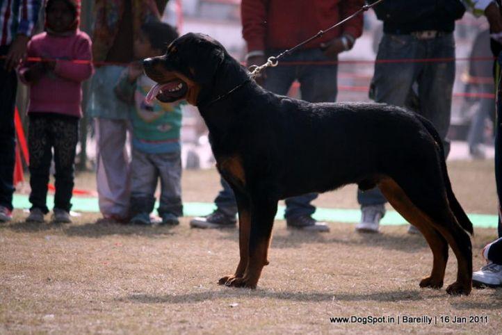 sw-14, ex-137,rottweiler,, EX VON DER ALTEN FESTUNG, Rottweiler, DogSpot.in