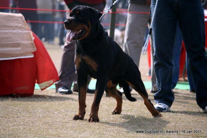 sw-14, ex-141,rottweiler,, Falco of shashi, Rottweiler, DogSpot.in