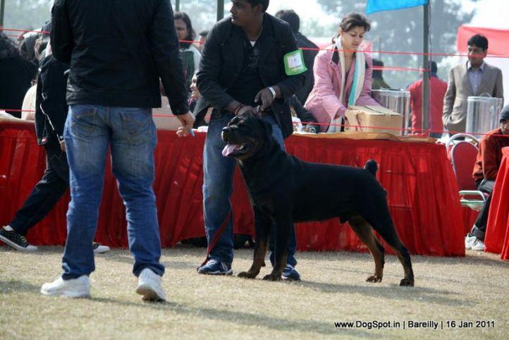 sw-14, ex-142,rottweiler,, JOHN, Rottweiler, DogSpot.in