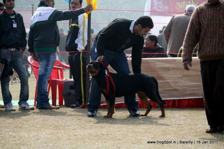 sw-14, ex-149,rottweiler,, MANKEY, Rottweiler, DogSpot.in