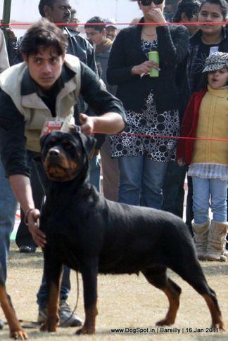 sw-14, ex-153,rottweiler,, RAZIA, Rottweiler, DogSpot.in