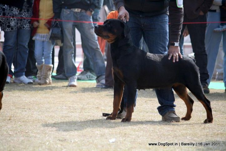 sw-14, ex-155,rottweiler,, ANGELINA, Rottweiler, DogSpot.in