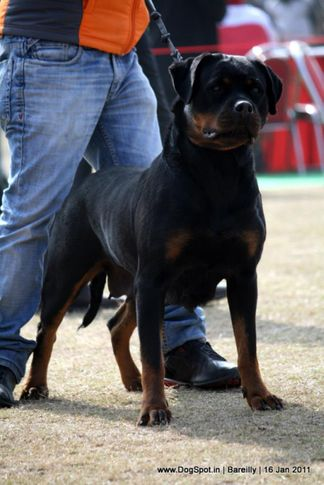 sw-14, ex-158,rottweiler,, CIDO FLASH ROUSE, Rottweiler, DogSpot.in