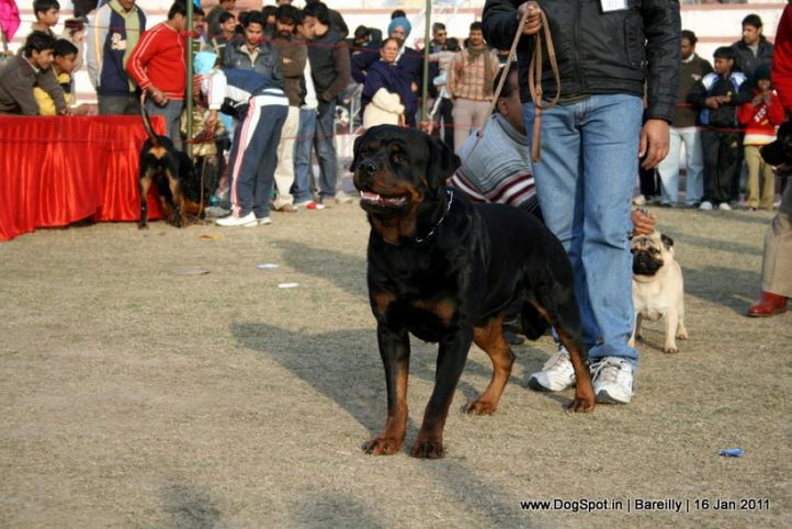 sw-14, ex-161,rottweiler, SRB. IND. FALKO VON HAUS ZIZAKOV, Rottweiler, DogSpot.in