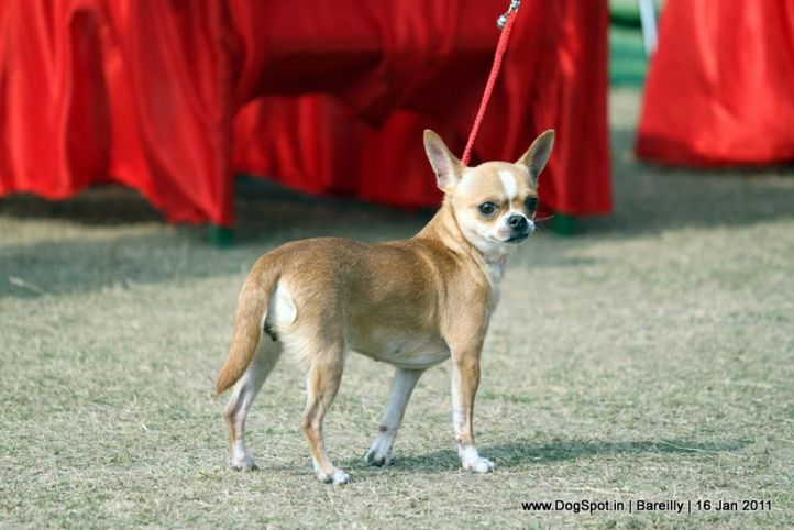 sw-14, chihuahua,ex-2,, TOP NOTCH'S YOO V00, Chihuahua (Smooth Coat), DogSpot.in